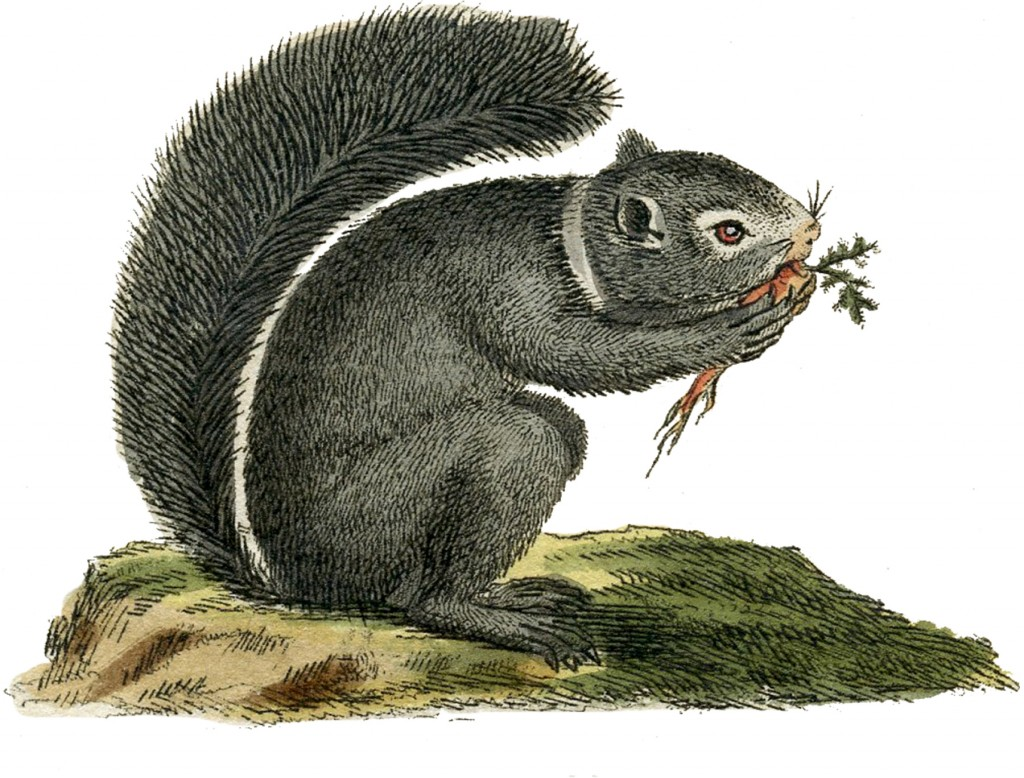 Gray Squirrel Image