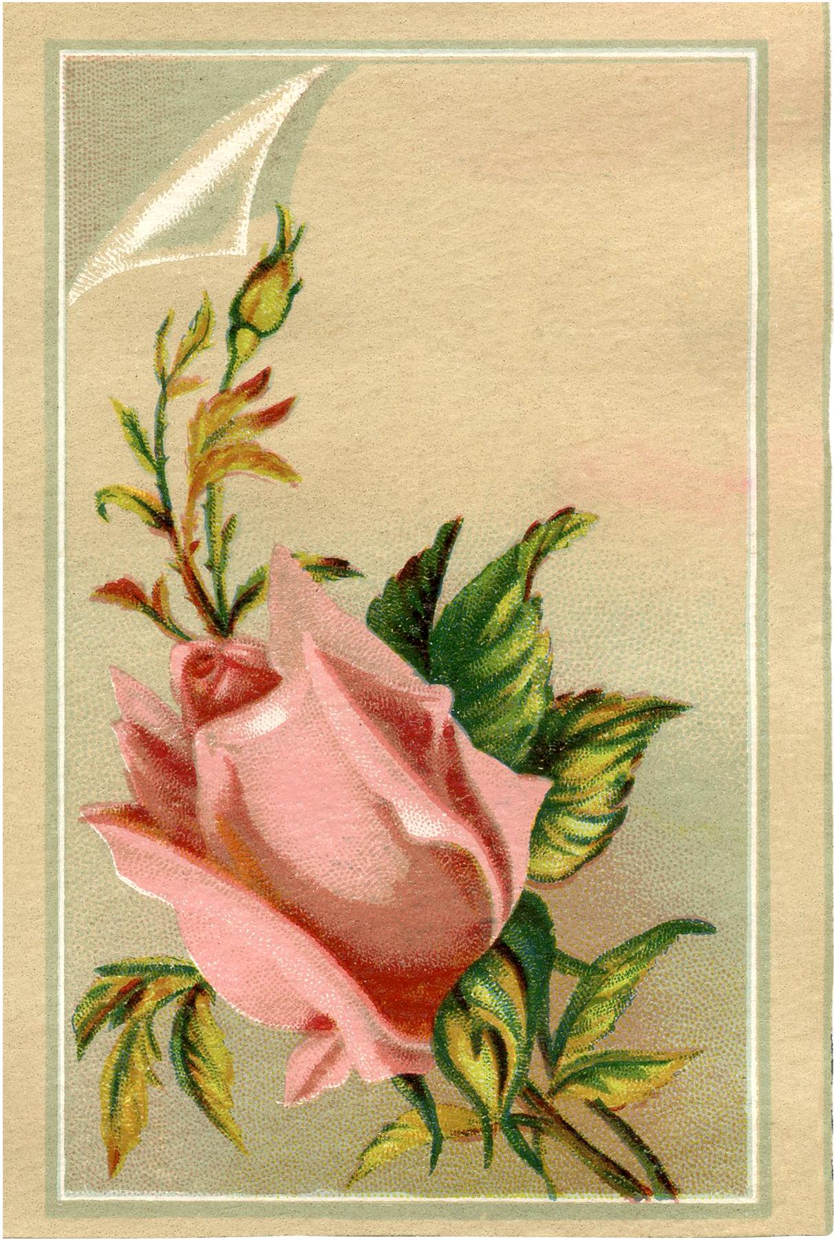 Free Pink Rosebud Download