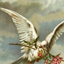 White Dove with Roses Image