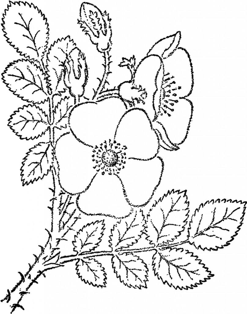 Wild Rose Sketch Image
