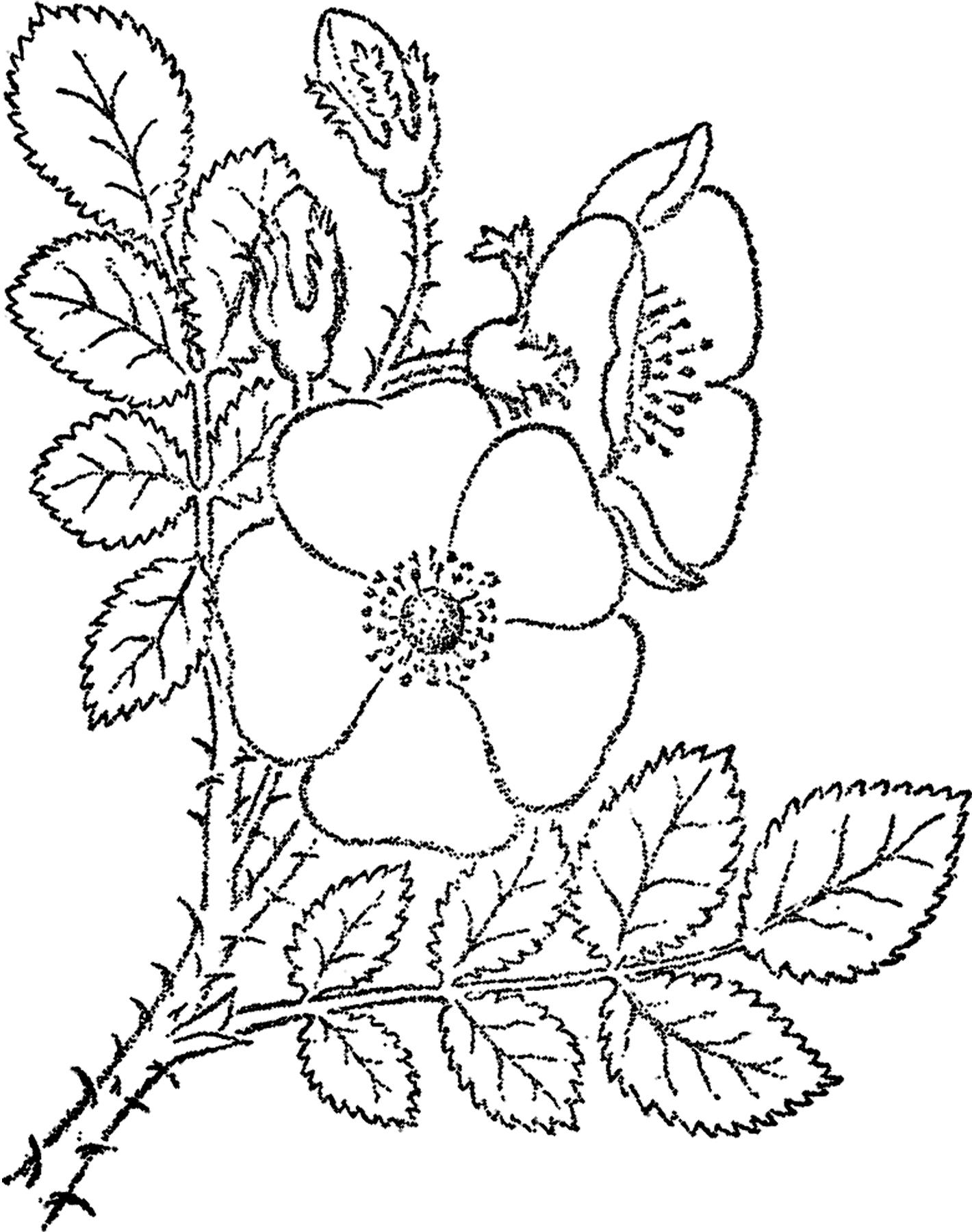 Wild Animal Sketches Wild Rose Sketch Image