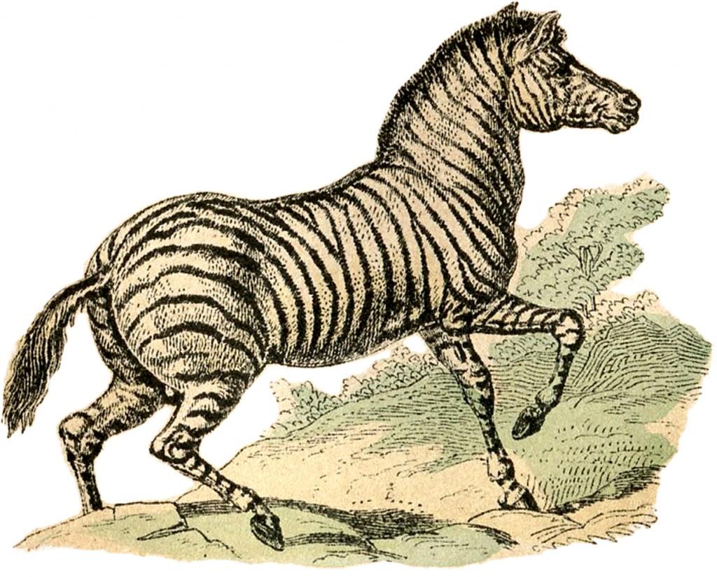 Free Public Domain Zebra Image