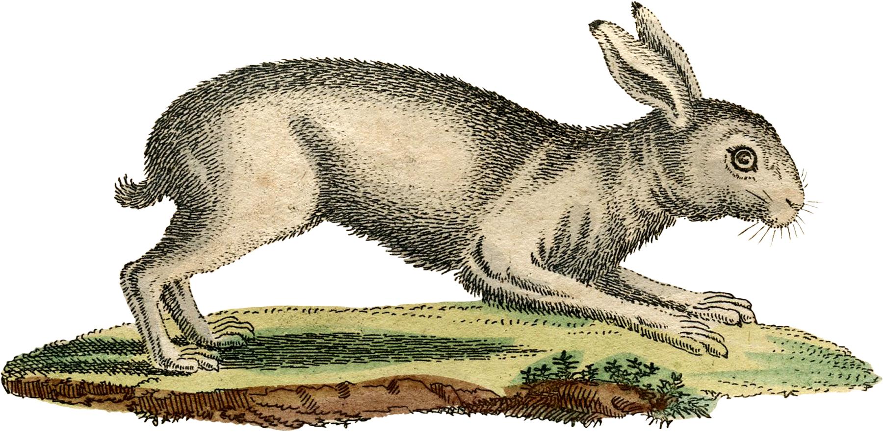Vintage White Rabbit Image The Graphics Fairy