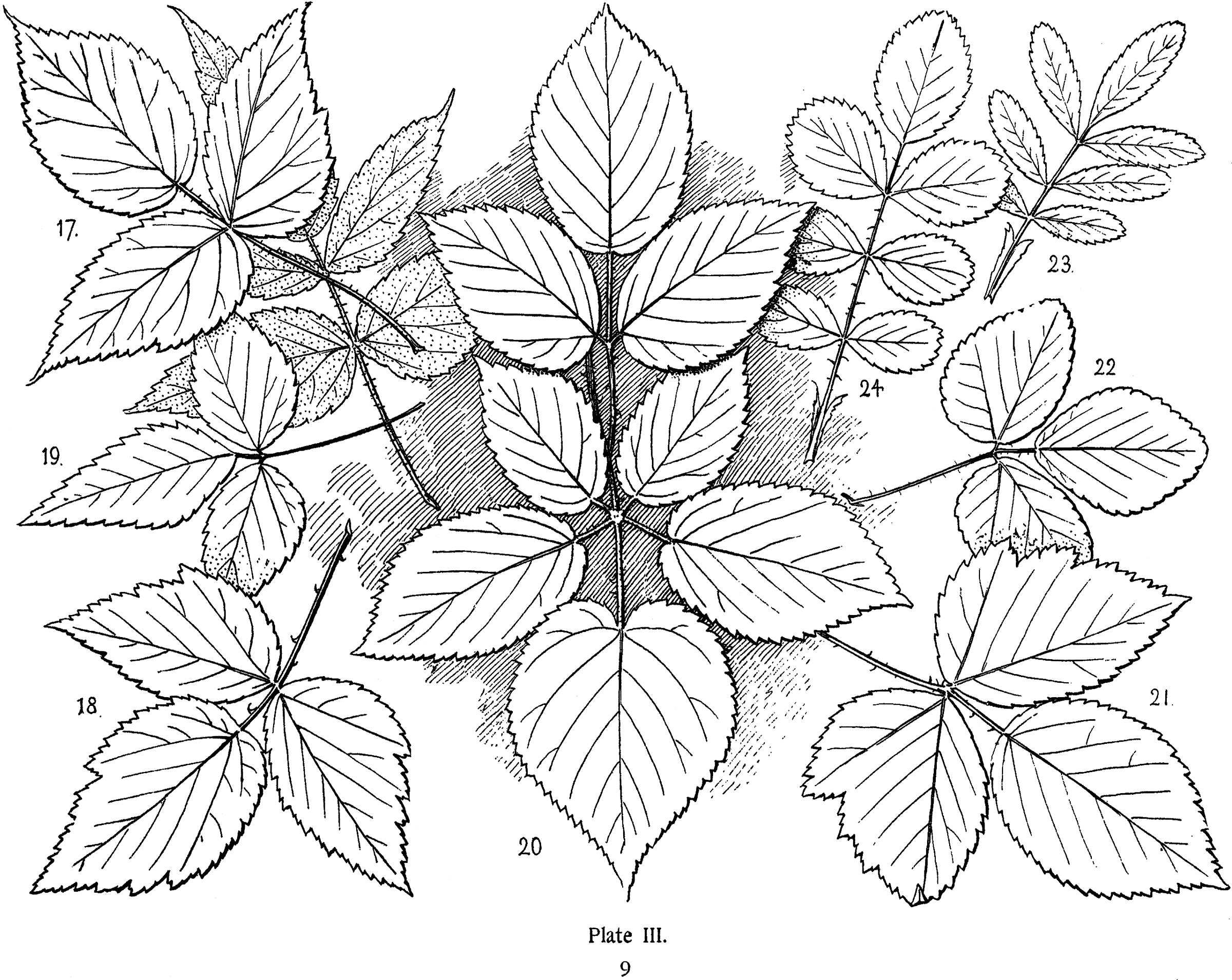 Line Drawing Leaves : Vintage leaf clip art cliparts