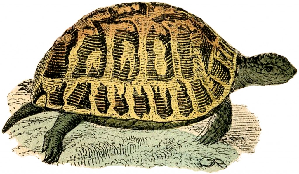 Free Vintage Turtle Clip Art Illustration