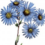 Blue-Daisy-Flowers-Image-thm-GraphicsFairy