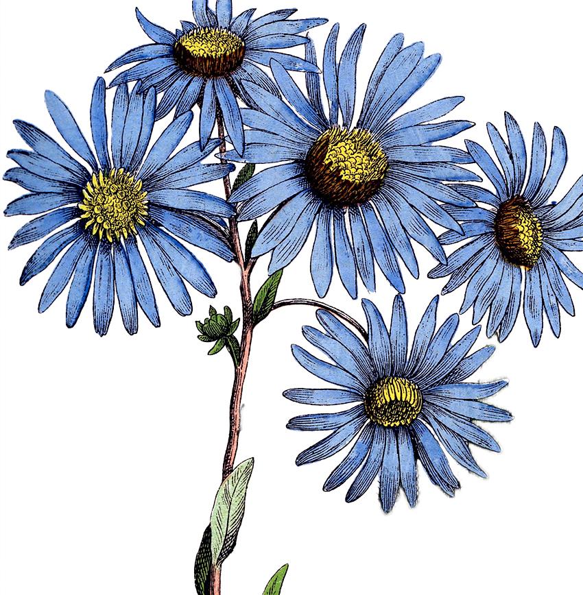Blue Daisy Flowers Image Botanical The Graphics Fairy