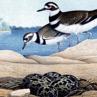 Free Vintage Seabird Printable!