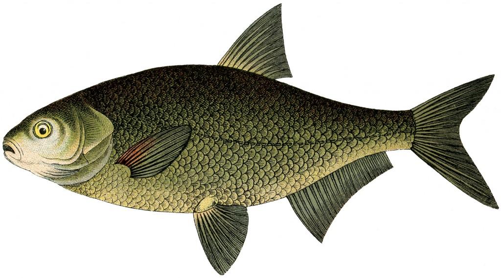 Natural History Fish