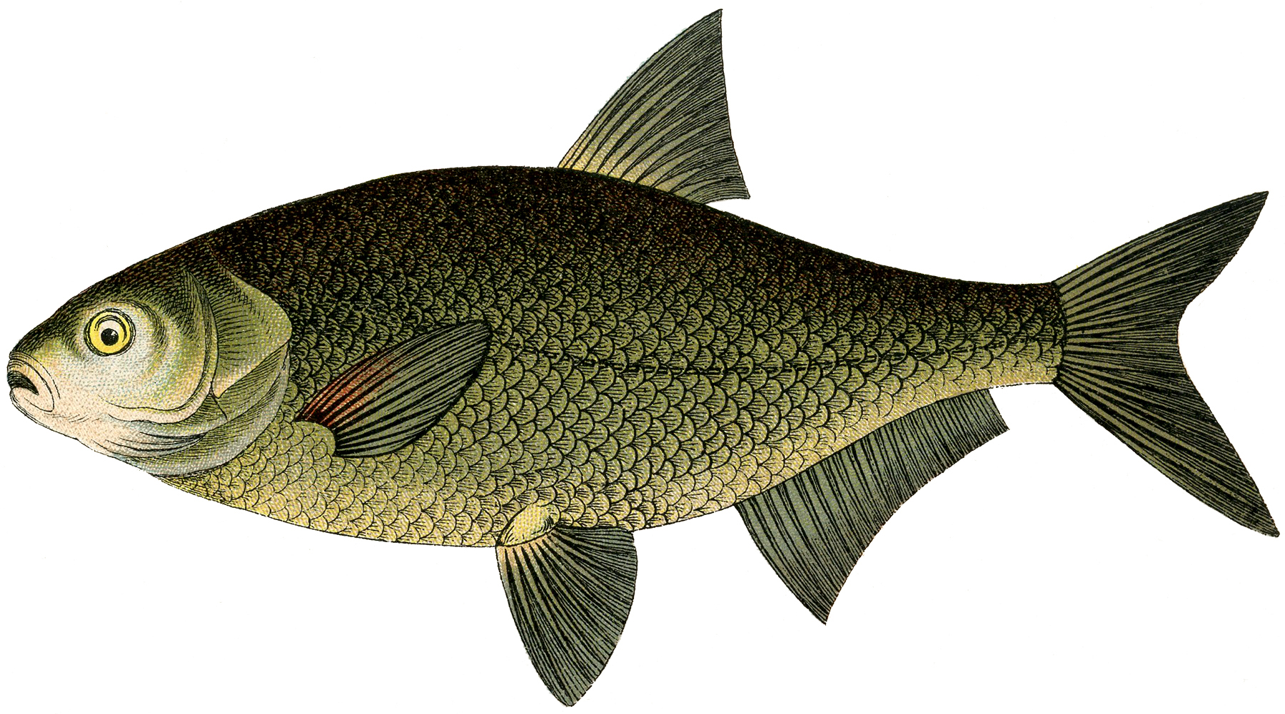 Natural History Fish Image! - The Graphics Fairy
