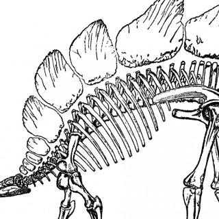 Public Domain Dinosaur Bones Image – Stegosaurus