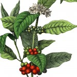 Stock-Image-Coffee-Plant-thm-GraphicsFairy