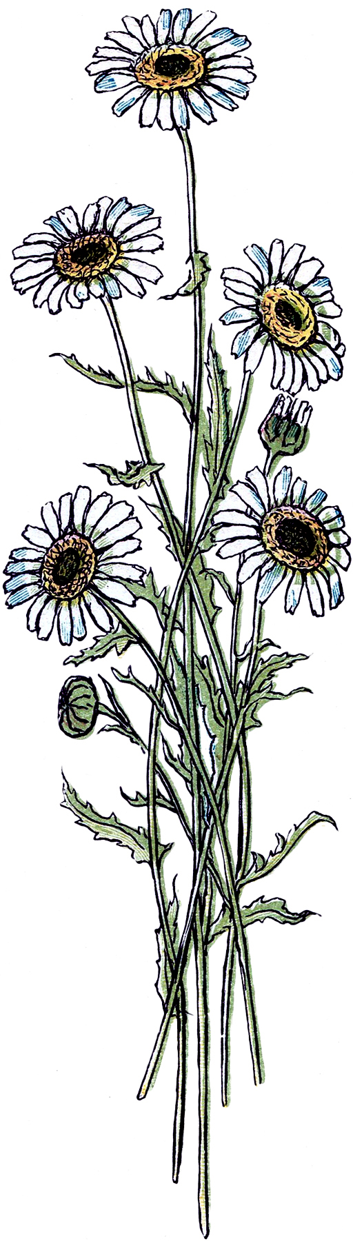 Pretty Vintage Daisy Drawing! - The Graphics Fairy