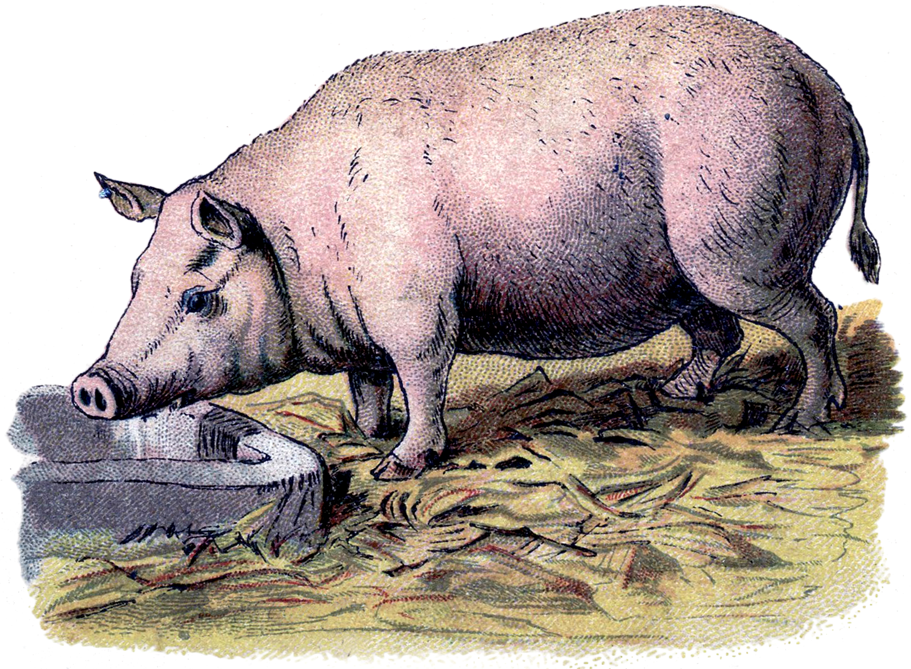 Vintage Pig Image! - The Graphics Fairy