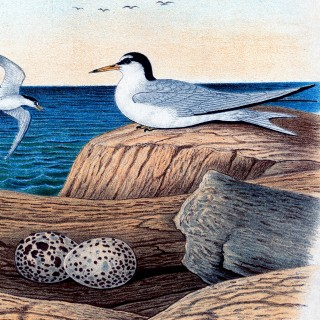 Vintage Seabirds Printable!