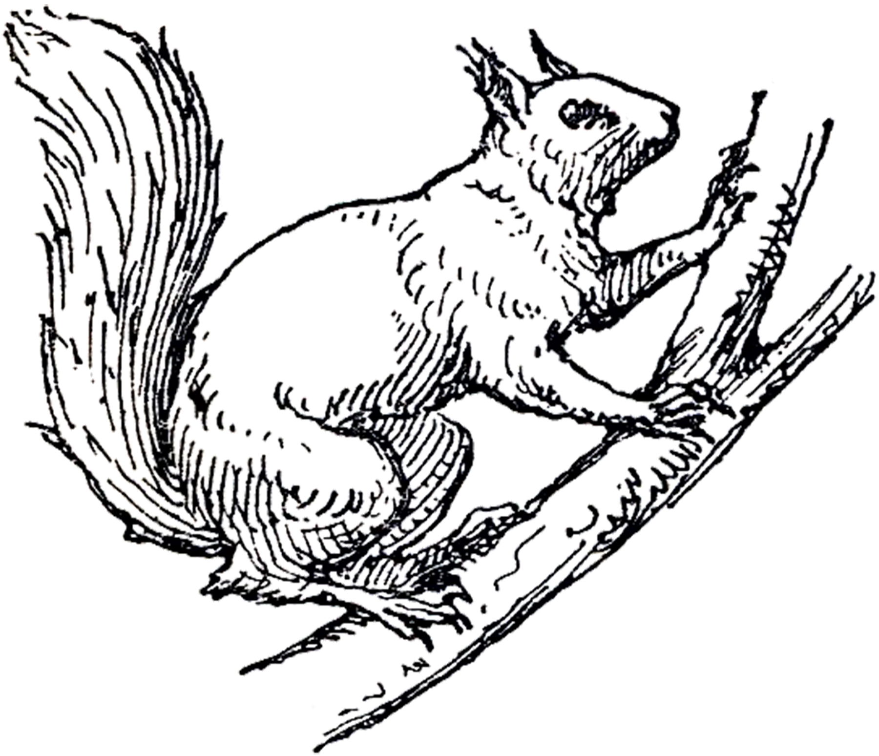 Line Drawing Squirrel : Vintage squirrel illustration the graphics fairy