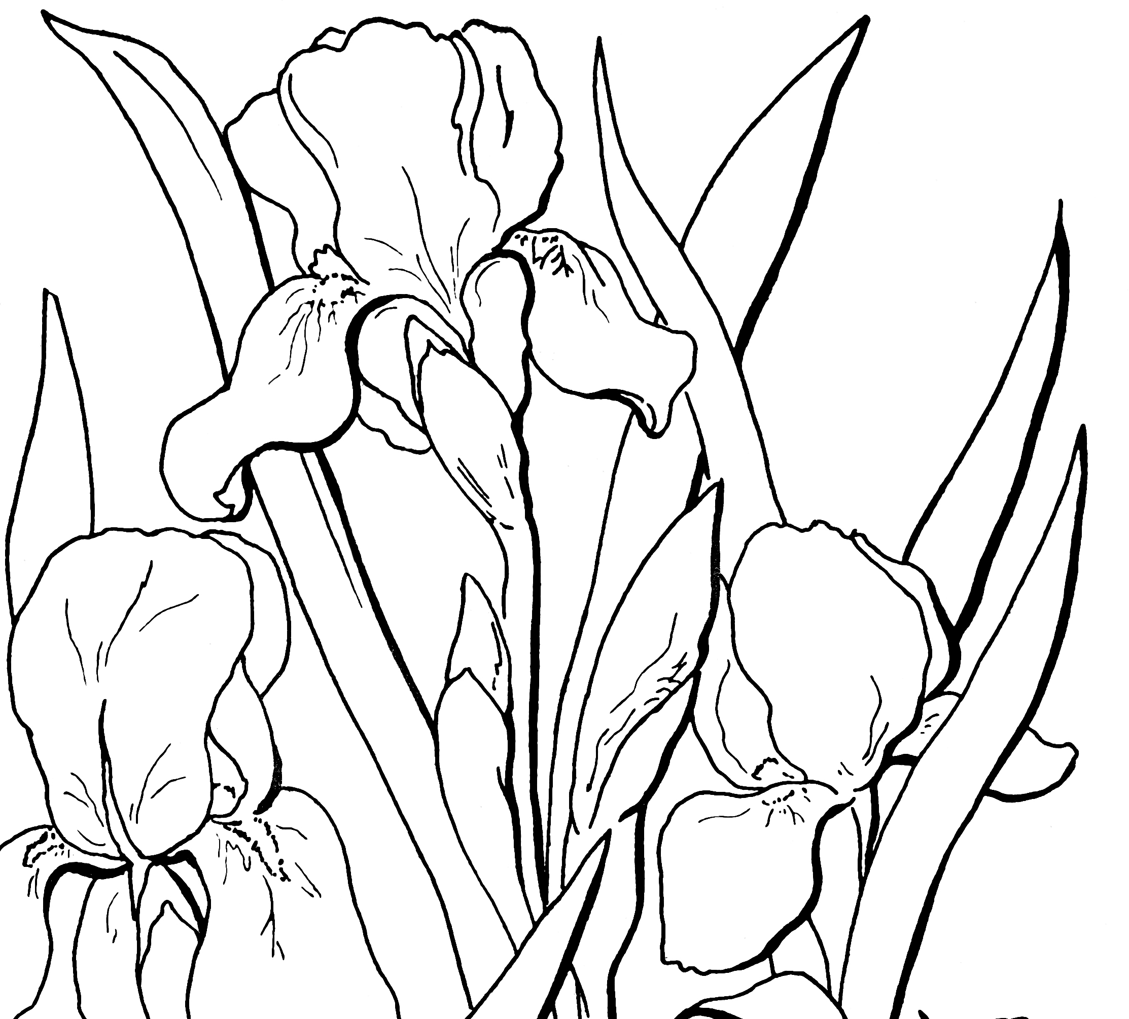 free floral coloring page the graphics fairy
