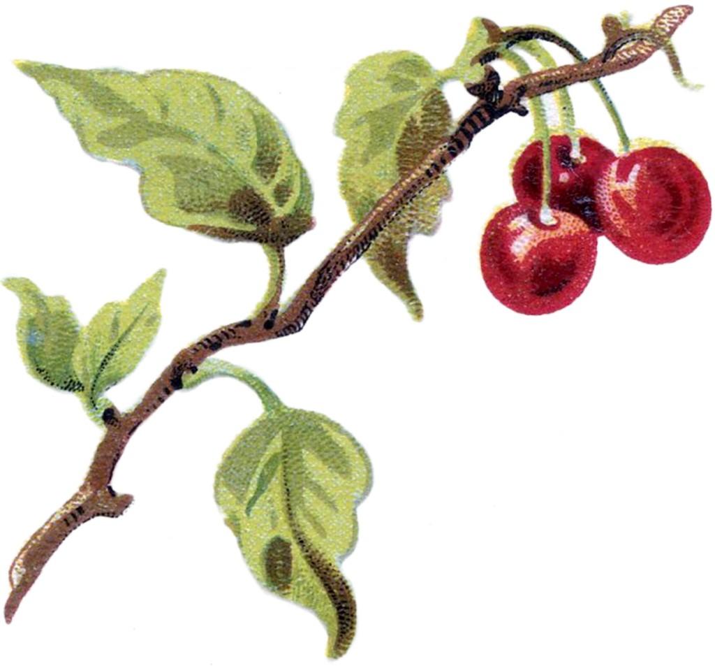 Public Domain Cherries Image
