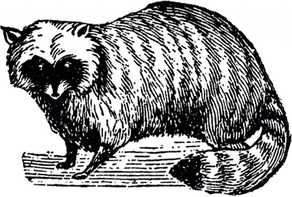 Free Stock Raccoon Image