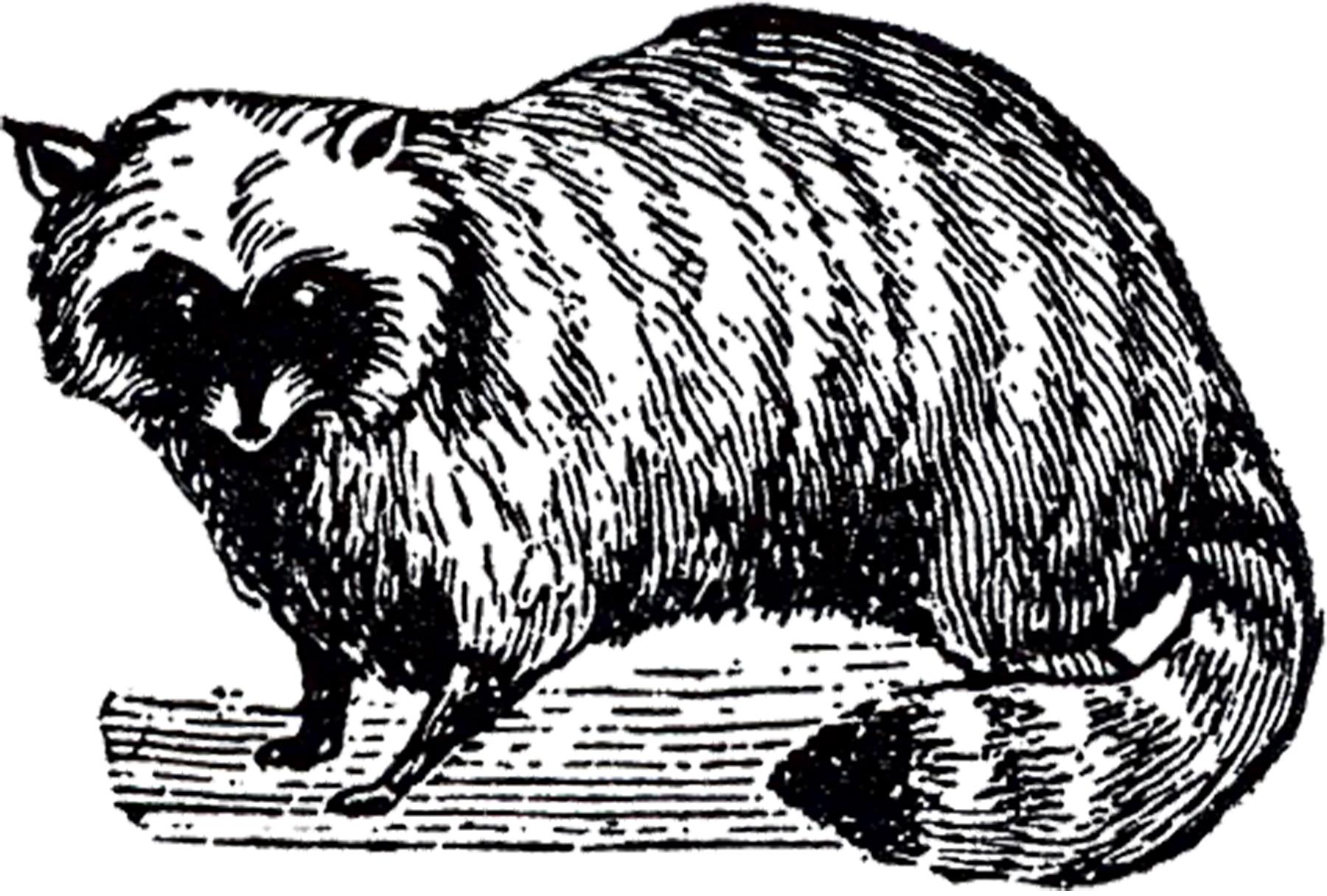 free stock raccoon image the graphics fairy