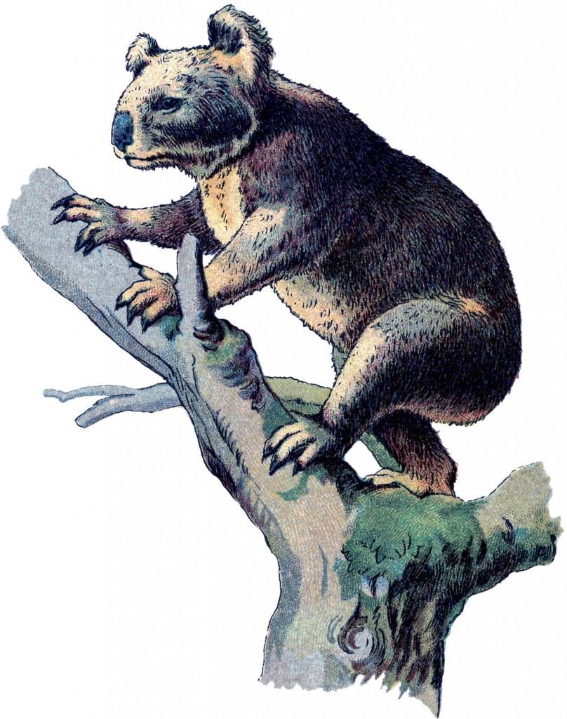 Vintage Koala Bear Image