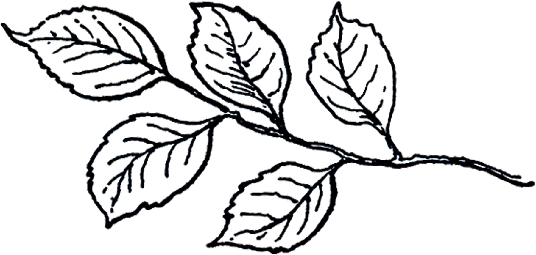 Line Drawing Clip Art : Leaves black and white drawing pixshark images
