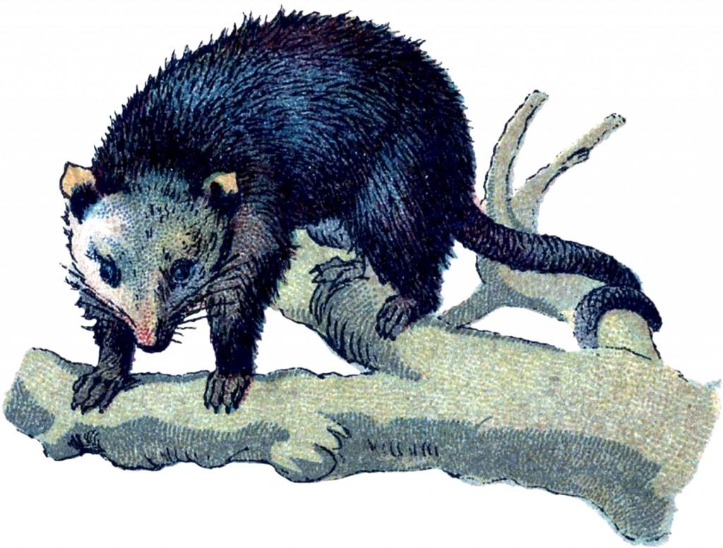 Vintage Opossum Image