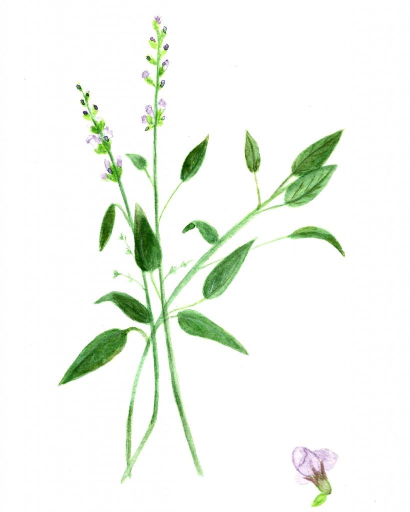 Free Basil and Sage Herb Watercolor Printables