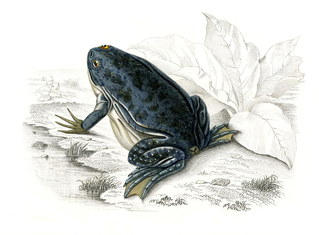 Antique Frog Image