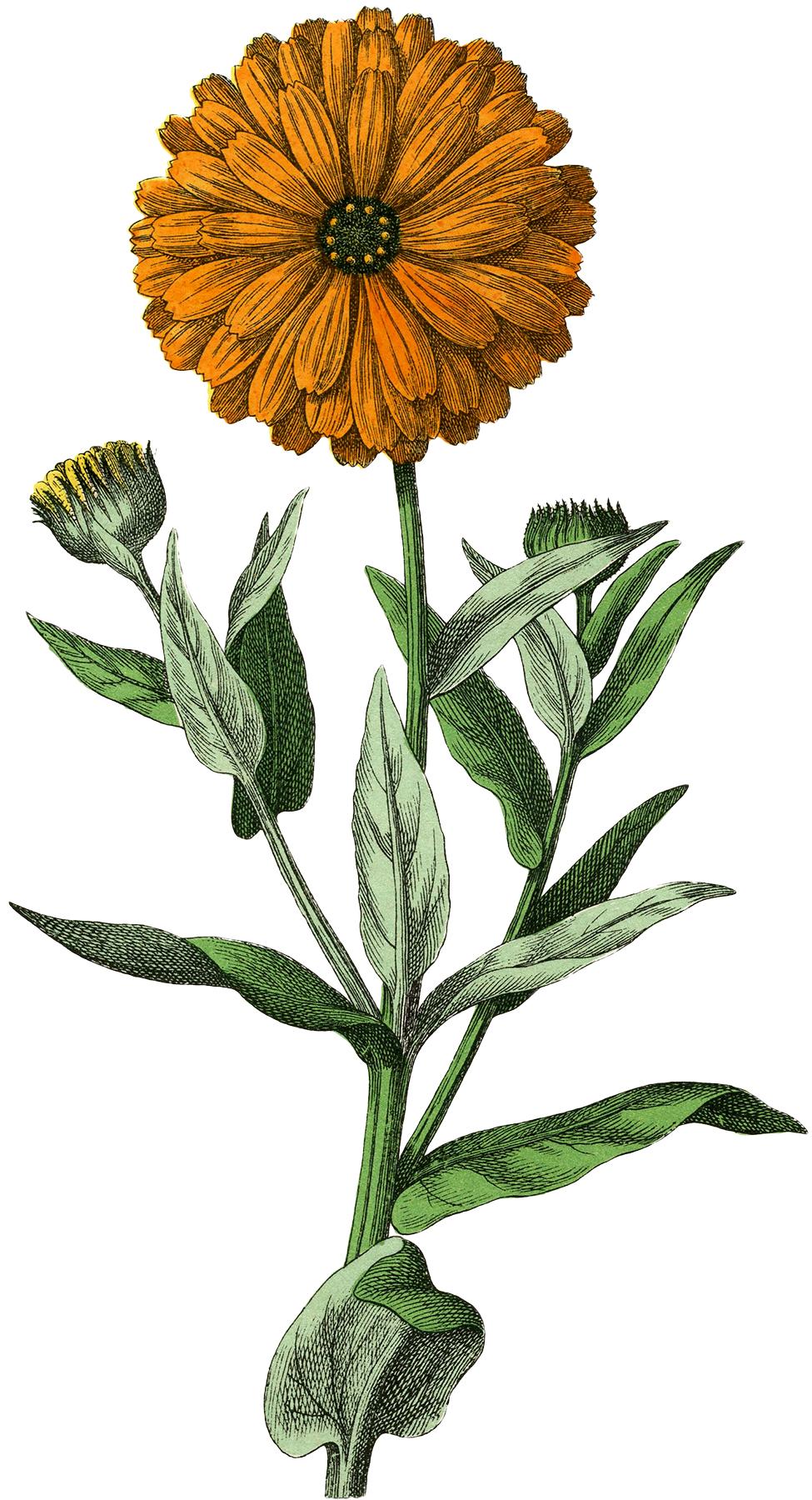 Botanical marigold image the graphics fairy - The graphics fairy ...