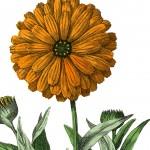 Botanical Marigold Image!