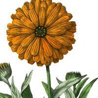 Botanical-Marigold-Image-thm-GraphicsFairy
