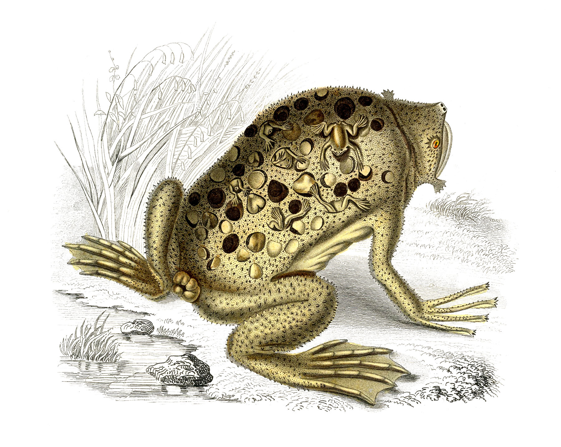 natural history toad image odd the graphics fairy