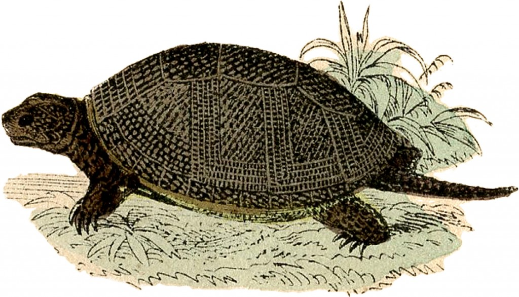 Turtle Illustration with Beautiful SHell