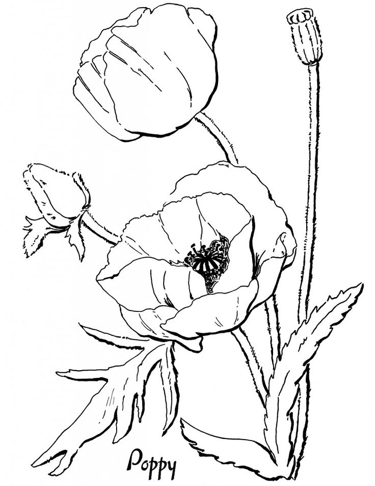 05 - Poppy Adult Coloring Pages