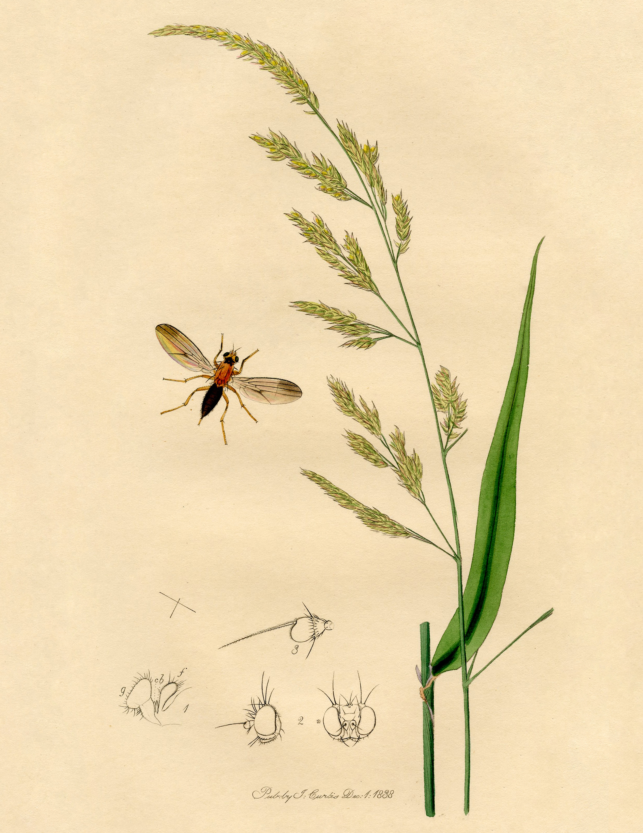 Antique Botanical Print with Insect