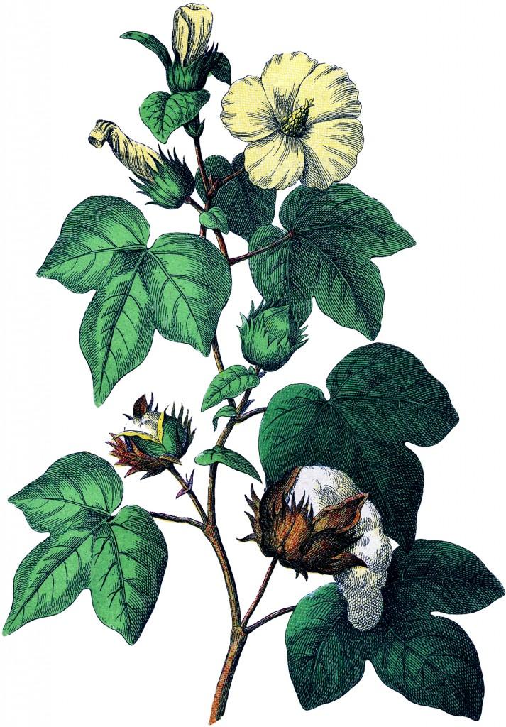 Botanical Cotton Plant Image