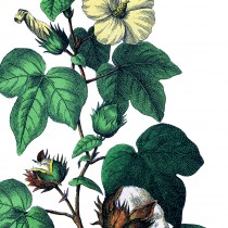 Botanical-Cotton-Plant-Image-thm-GraphicsFairy