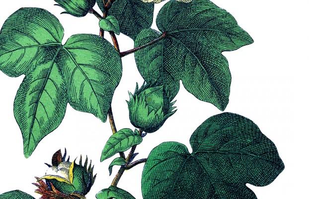 Botanical Cotton Plant Image!