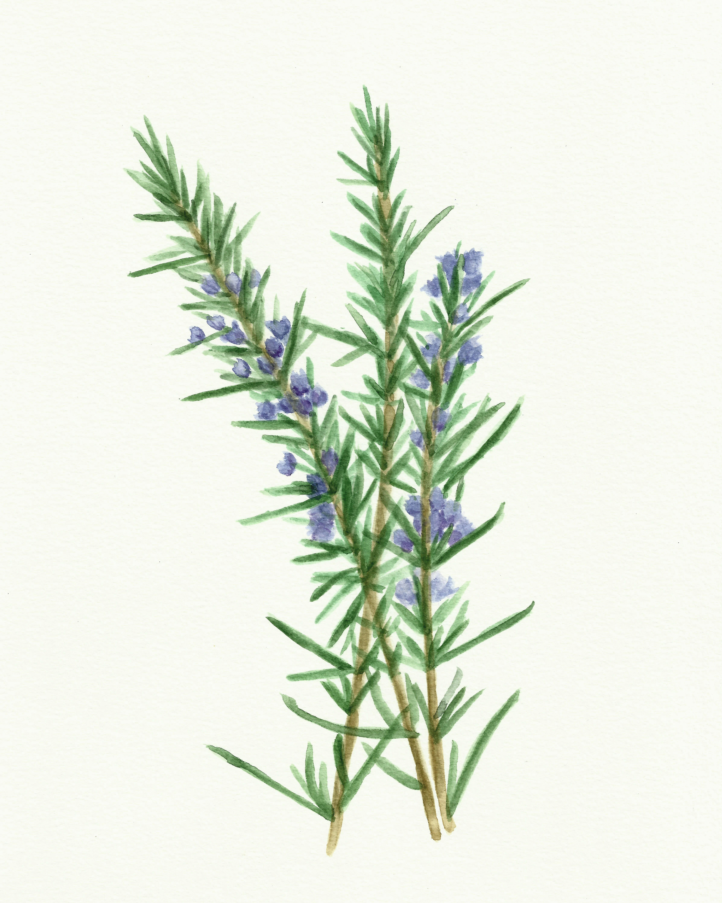 photo regarding Watercolor Printable named Absolutely free Herb Watercolor Printables: Rosemary and Oregano! - The