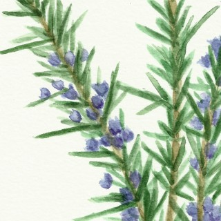 Free Herb Watercolor Printables:  Rosemary and Oregano!