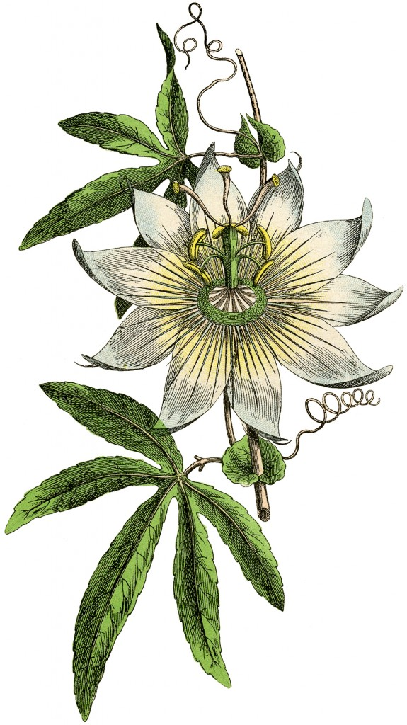Vintage Passion Flower Botanical Image