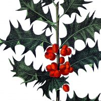 Antique-Botanical-Holly-Image-thm-GraphicsFairy