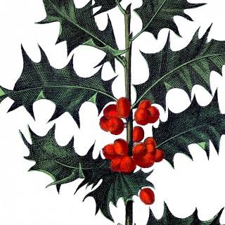 Antique Botanical Holly Image!