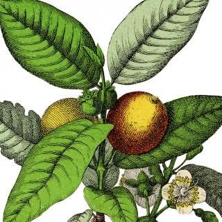 Wonderful Botanical Guava Fruit Image!