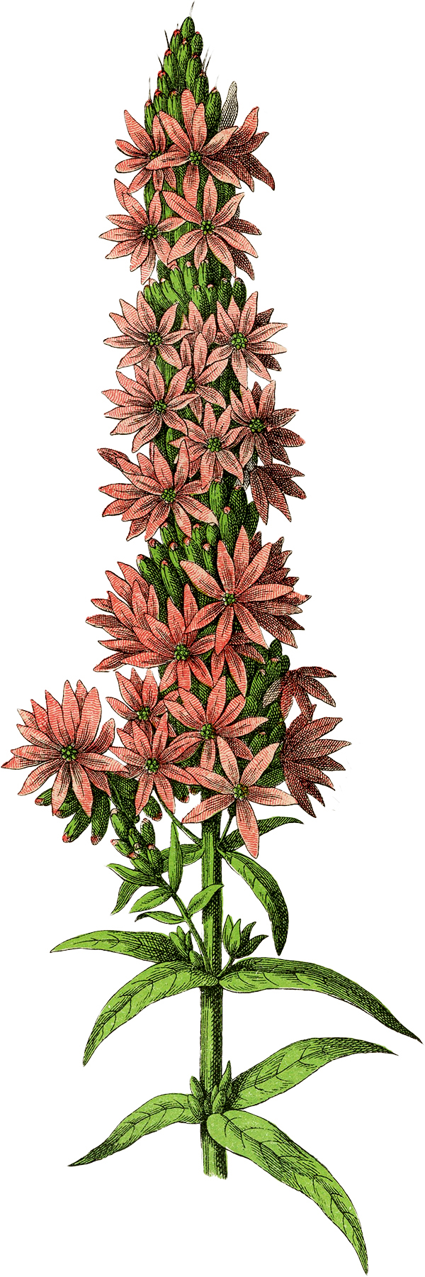 Free Botanical Flower Clip Art - The Graphics Fairy
