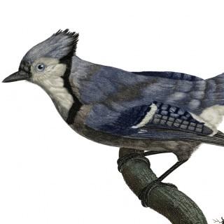 Stunning Natural History Blue Jay Image!