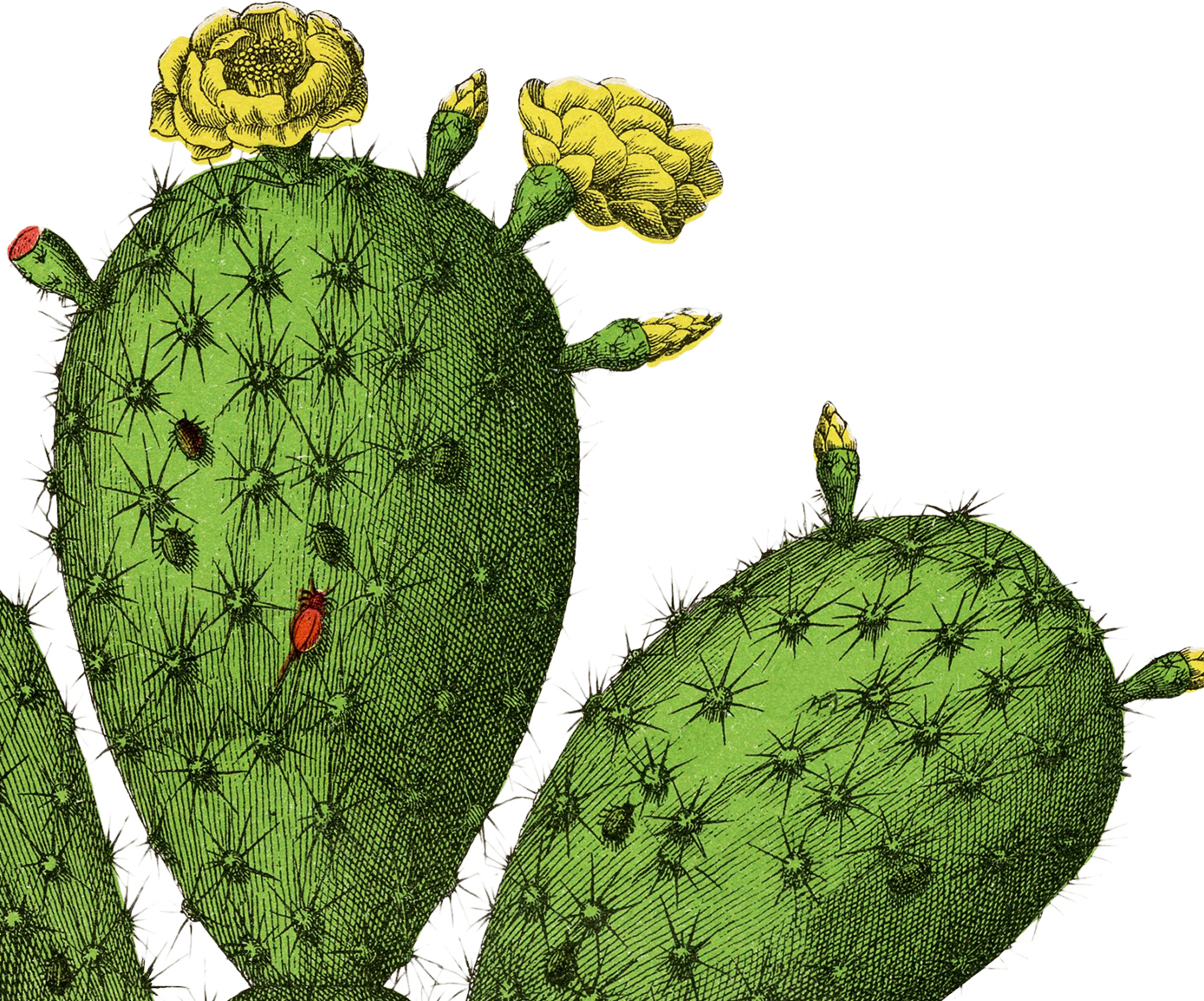 Vintage Cactus Botanical Image The Graphics Fairy