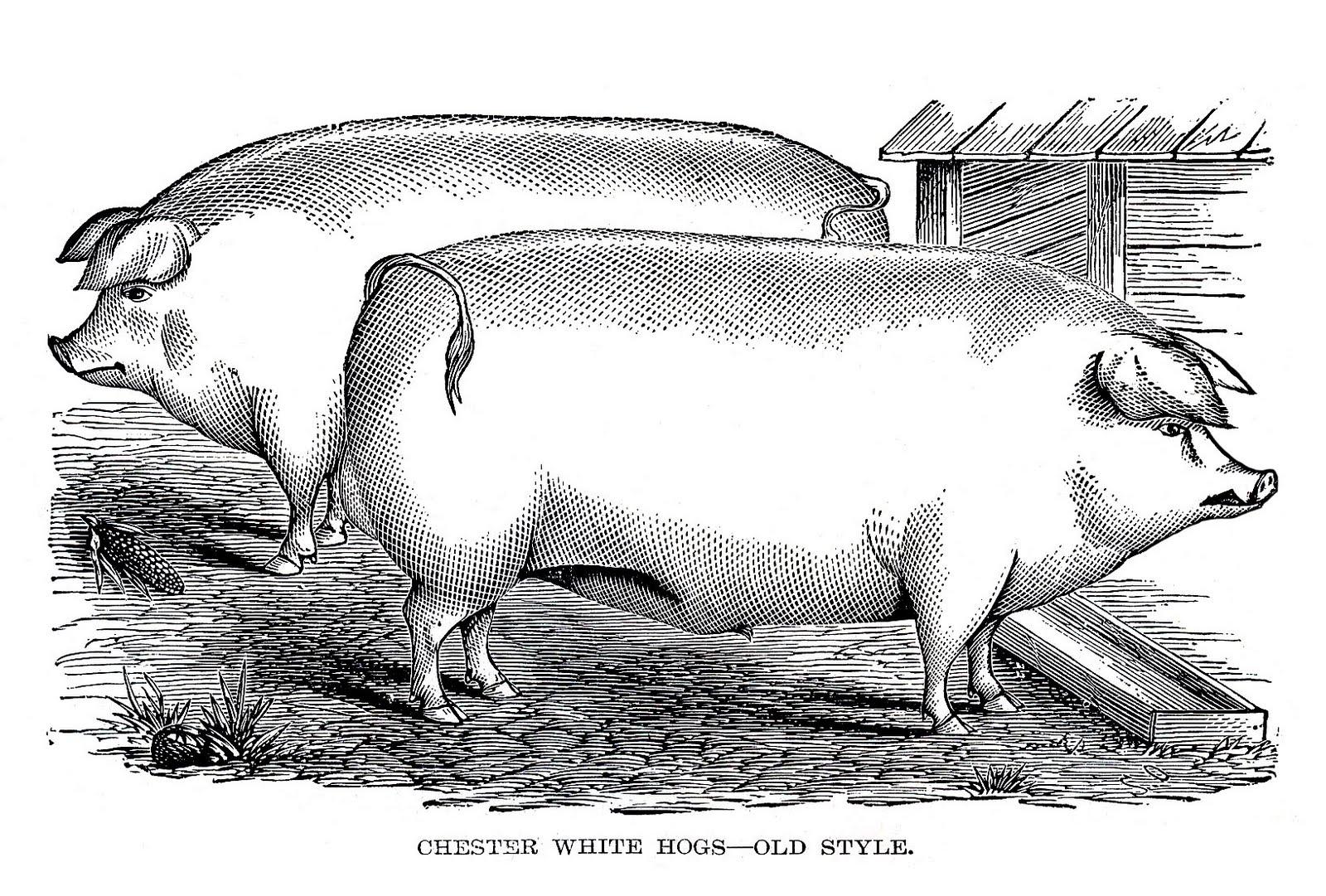 Vintage Pigs Image