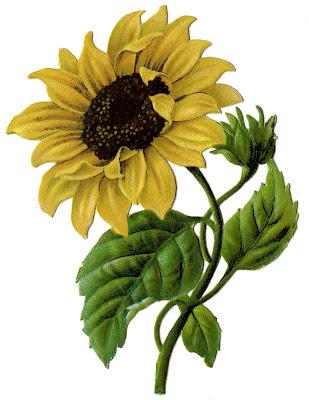 Sunflower Vintage Image